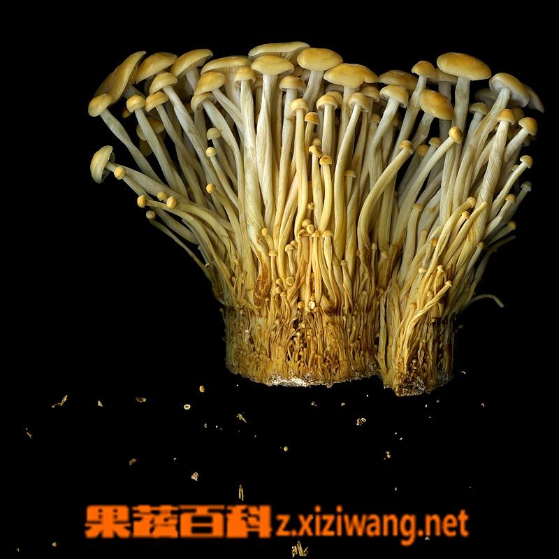 果蔬百科金针菇